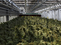 CannTrust whistleblower says Health Canada would never have foun